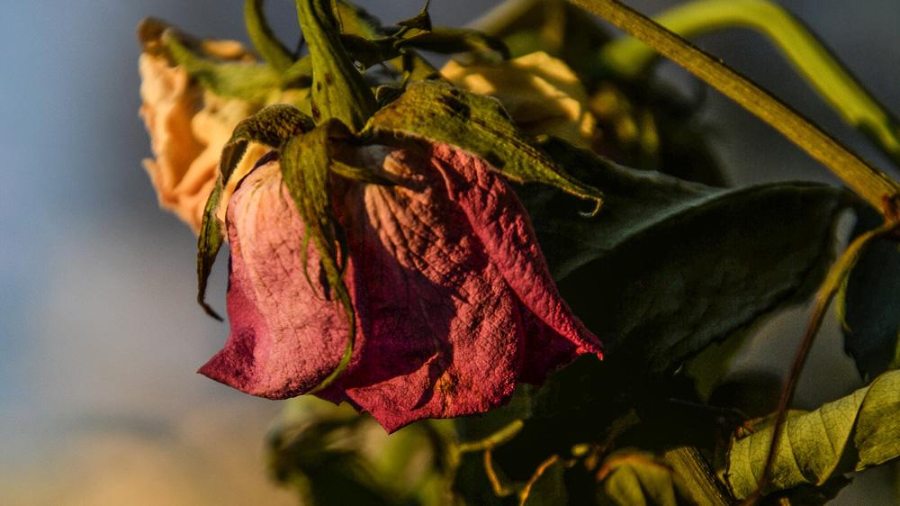 Blumen trocknen oder vor dem Austrocknen retten